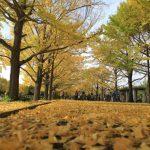 昭和記念公園で紅葉デート。時期や楽しみ方。レンタサイクルもおすすめ!