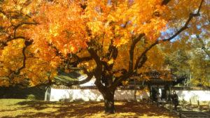楷の木の紅葉