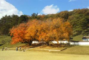 閑谷学校 楷の木の紅葉